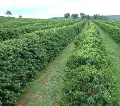 plantacion cafe